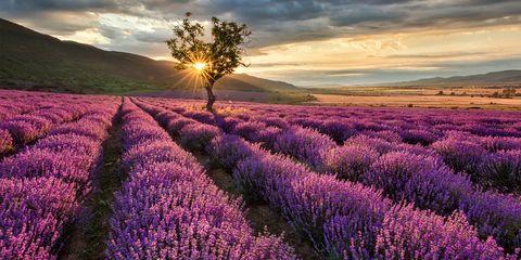 Purple, Lavender, Natural landscape, Landscape, Sunset, Field, Sunrise, Agriculture, Lavender, Violet,