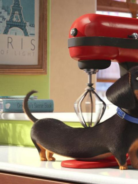 Dog breed, Vertebrate, Dog, Carnivore, Collar, Snout, Pet supply, Dog supply, Window covering, Companion dog,