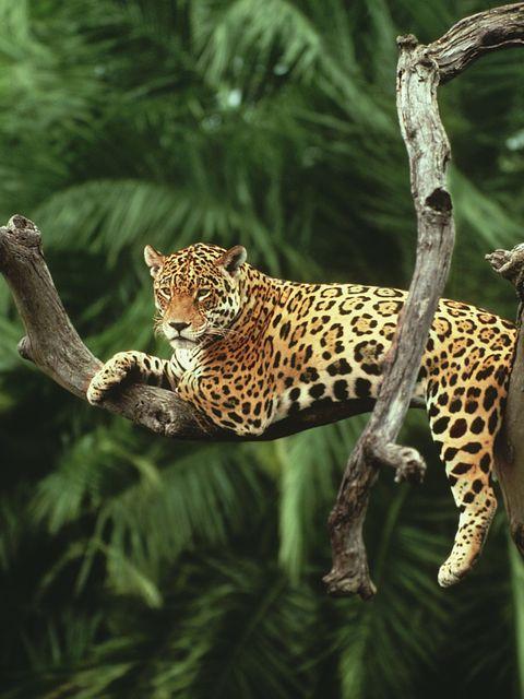 Vegetation, Branch, Organism, Natural environment, Big cats, Vertebrate, Felidae, Carnivore, Terrestrial animal, Jaguar,