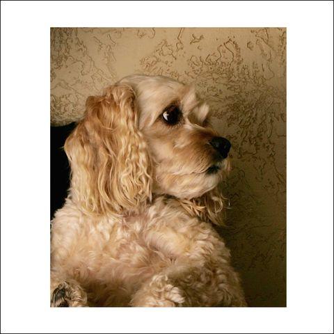 Brown, Dog breed, Dog, Carnivore, Liver, Working animal, Beige, Companion dog, Toy dog, Fawn,