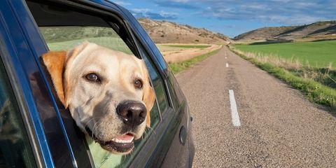 Road, Dog breed, Vehicle door, Dog, Plain, Carnivore, Asphalt, Automotive mirror, Field, Snout,