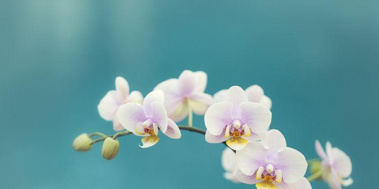 orchidee come curarle e fare rifiorire