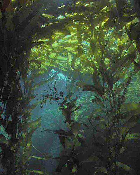 Nature, Green, Organism, Macrocystis, Underwater, Seaweed, Fluid, Aqua, Algae, Sunlight,