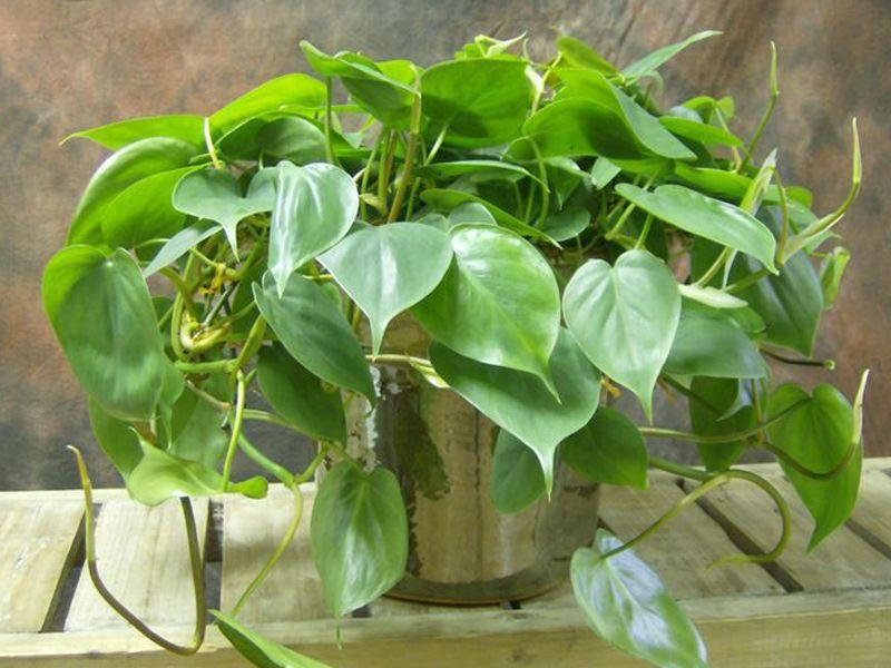 Questa pianta non dovrebbe mai mancare in nessun appartamento. Ecco perché