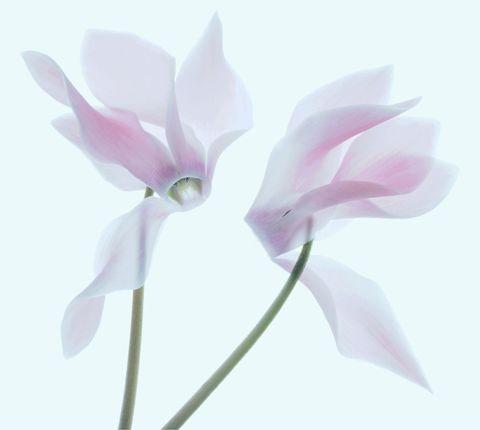fiori da balcone ciclamino inverno