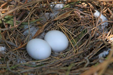 Uova di piccione