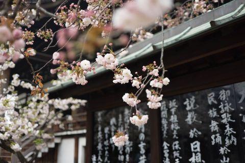 significato dei fiori di ciliegio