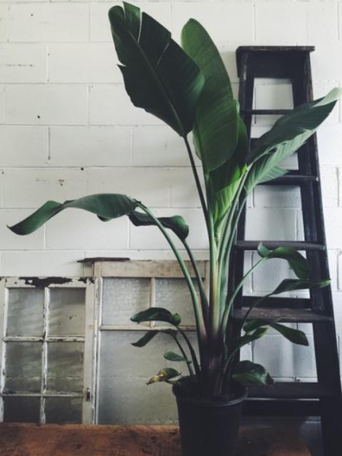 """<p>De plant en dus niet wat we in plat Haags in 2010 in koor riepen. De Strelitzia<span class=""""redactor-invisible-space"""" data-verified=""""redactor"""" data-redactor-tag=""""span"""" data-redactor-class=""""redactor-invisible-space""""></span>is een exotische plant,die in Zuid-Afrika en de Canarische Eilanden tot wel twee meter hoog kan worden. In het voorjaar en de zomer kun je mooie bloemen verwachten.</p><p>> In de zomer heeft de plant ruim water nodig.<br>> De plant heeft breekbare wortels, dus vaak verpotten is een <em data-redactor-tag=""""em"""" data-verified=""""redactor"""">no-go</em><span class=""""redactor-invisible-space"""" data-verified=""""redactor"""" data-redactor-tag=""""span"""" data-redactor-class=""""redactor-invisible-space"""">.</span><br>> Zet hem niet op de tocht, in de volle zon of bij de verwarming.<br></p>"""