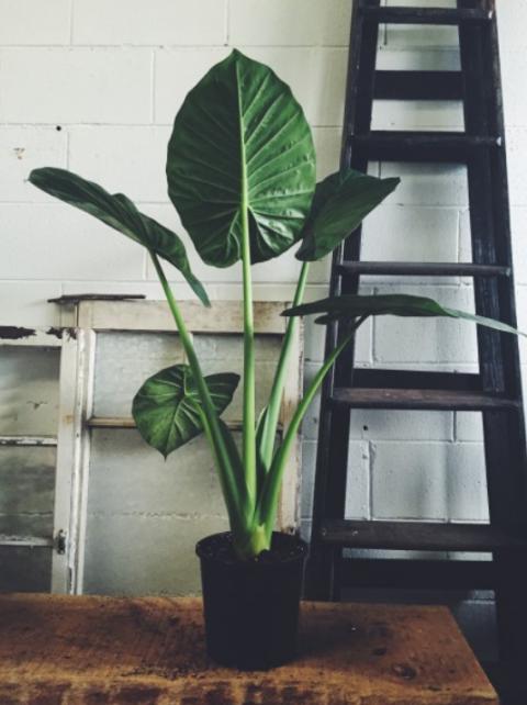 """<p>De Alocasia, ook wel Olifantsoor genoemd; terug te herleiden aan zijn enorme bladeren. Deze kan direct op je <em data-redactor-tag=""""em"""" data-verified=""""redactor"""">wishlist</em>.</p><p>> Veel licht, alleen niet in direct zonlicht plaatsen.<br>> De plant groeit naar het licht toe, dus draai hem regelmatig en voorkom scheefgroei.<br>> Hij heeft veel water nodig, maar zorg dat hij niet constant in een laag water staat.<br>> Geef hem in de zomer en lente elke twee weken kamerplanten mest.<br></p>"""