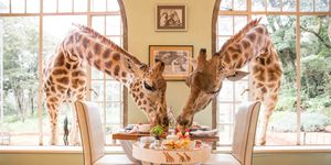 Walking with Dinosaurs - maar dan met giraffes