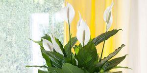 5 manieren om eindeloos van je lepelplant te genieten