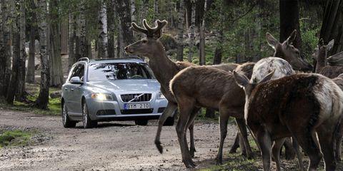 Deer, Vehicle registration plate, Organism, Headlamp, Grille, Elk, Automotive lighting, Full-size car, Terrestrial animal, Wildlife,