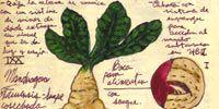 Organism, Root vegetable, Paper, Handwriting, Herb, Root, Produce, Marine invertebrates, Drawing, Paper product,
