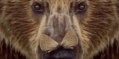 Vertebrate, Mammal, Brown bear, Grizzly bear, Nose, Snout, Terrestrial animal, Close-up, Bear, Fur,