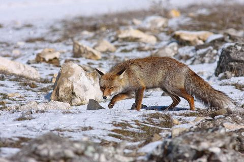 mammal, vertebrate, fox, canidae, red fox, grey fox, wildlife, carnivore, coyote, jackal,