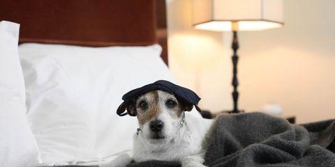 Dog breed, Lampshade, Dog, Room, Comfort, Mammal, Carnivore, Lamp, Interior design, Lighting accessory,