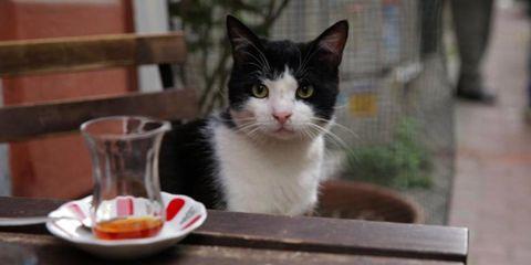 Serveware, Whiskers, Dishware, Small to medium-sized cats, Carnivore, Vertebrate, Felidae, Cat, Plate, Tableware,
