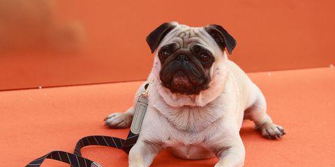 Dog, Dog breed, Canidae, Mammal, Pug, Skin, Snout, Carnivore, Companion dog, Puppy,