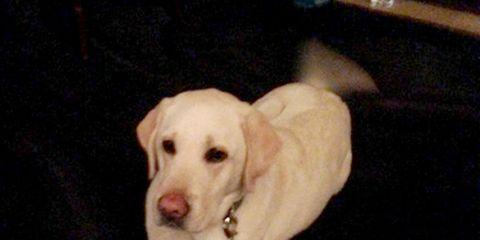 Dog breed, Dog, Carnivore, Sporting Group, Retriever, Companion dog, Labrador retriever, Terrestrial animal, Fawn, Snout,