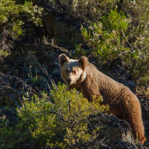 Mammal, Vertebrate, Brown bear, Grizzly bear, Bear, Wildlife, Terrestrial animal, Nature reserve, Wilderness, Carnivore,