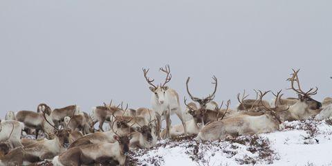 Deer, Elk, Antler, Reindeer, Horn, Atmospheric phenomenon, Winter, Wildlife, Snow, Natural material,