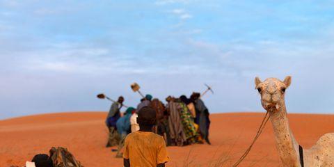 Camel, Natural environment, Aeolian landform, Vertebrate, Camelid, Sand, Landscape, Desert, People in nature, Adaptation,