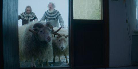 Human, Photograph, Sheep, Sheep, Wall, Fur, Livestock, Snapshot, Snout, Goat-antelope,