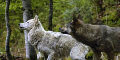 Vertebrate, Carnivore, Dog, Wolf, Forest, Wilderness, Wildlife, Biome, Canis, canis lupus tundrarum,