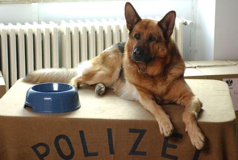 Dog breed, Brown, Dog, Carnivore, German shepherd dog, Liver, Snout, Dog supply, Herding dog, Sporting Group,