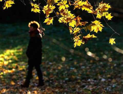 Human, Yellow, Leaf, People in nature, Deciduous, Autumn, Goldenrod, Northern hardwood forest,