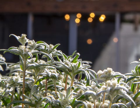 Shrub, Botany, Flowering plant, Light fixture, Plant stem, Herb, Subshrub, Perennial plant, Amaryllis family, Pittosporaceae,