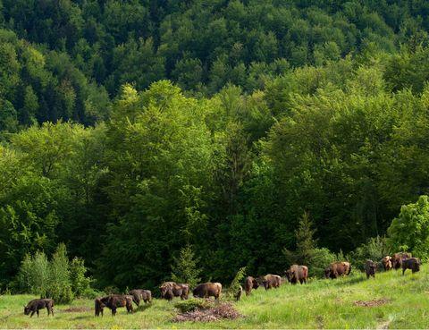 Grazing, Natural landscape, Pasture, Tree, Landscape, Nature reserve, Terrestrial animal, Ranch, Grassland, Rural area,
