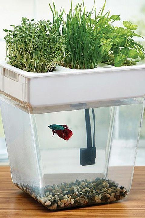 Flowerpot, Aquarium, Grass, Grass family, Plant, Houseplant, Freshwater aquarium, Herb, Aquatic plant, Aquarium decor,