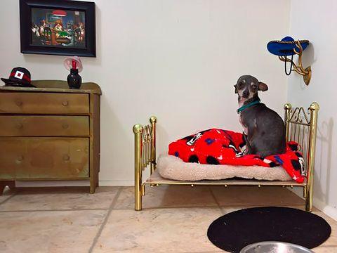 perros este chihuahua tiene su habitación