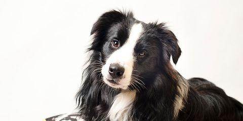 Dog breed, Dog, Carnivore, Mammal, Iris, Magenta, Snout, Violet, Companion dog, Fur,