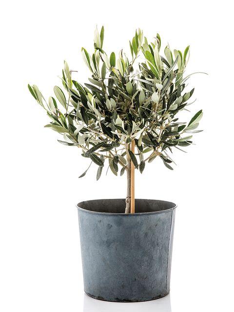 Flowerpot, Plant, Flower, Tree, Woody plant, Houseplant, Flowering plant, Shrub, Olive,