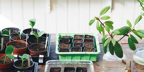 Plant, Fashion accessory, Herb, Houseplant,