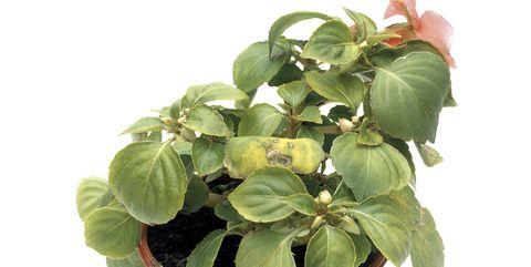 Flower, Flowering plant, Flowerpot, Plant, Houseplant, Leaf, Herb, Impatiens, Annual plant, Perennial plant,