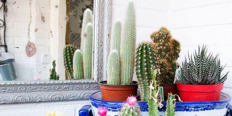 Cactus, Flowerpot, Houseplant, Plant, Majorelle blue, Flower, Succulent plant, Room, Hedgehog cactus, Caryophyllales,