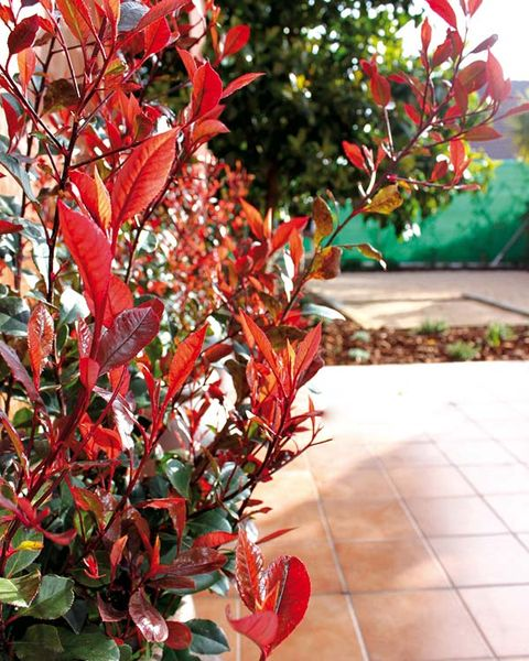 photinia red robin