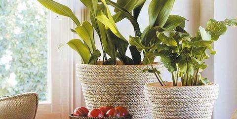 Las plantas de interior m s resistentes c mo decorar con - Plantas venenosas de interior ...