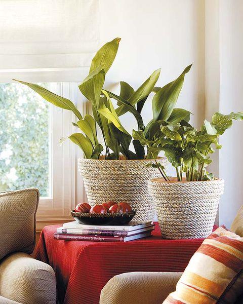 la planta aspilistra también es conocida como orejas de burro por la forma de sus hojas