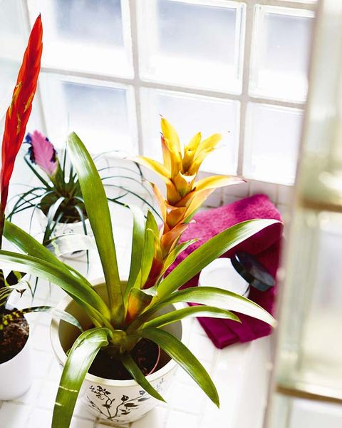 Flower, Houseplant, Plant, Flowerpot, Terrestrial plant, Flowering plant, Botany, Bromelia, Leaf, Bromeliaceae,
