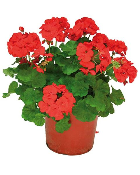 Flower, Flowering plant, Plant, Red, Flowerpot, Petal, Geranium, Annual plant, Begonia, Geraniales,