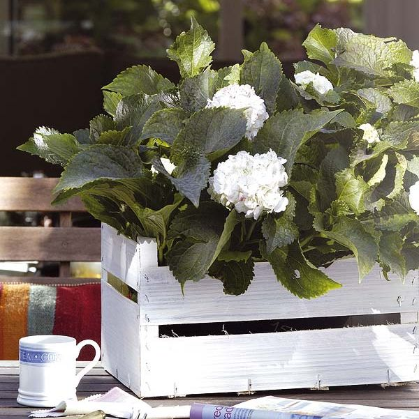 hortensias blancas en caja de frutas blanca