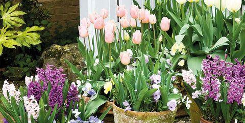 tulipanes y jacintos
