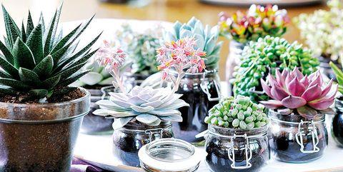 Plantas suculentas en tarros de cocina