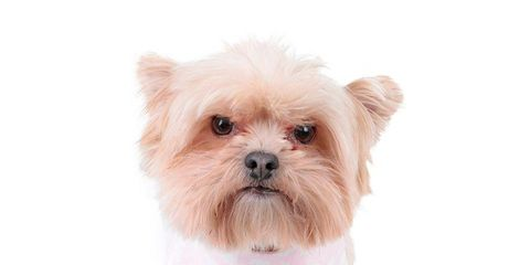 Dog, Canidae, Mammal, Dog clothes, Puppy, Dog breed, Pink, Shih tzu, Companion dog, Carnivore,