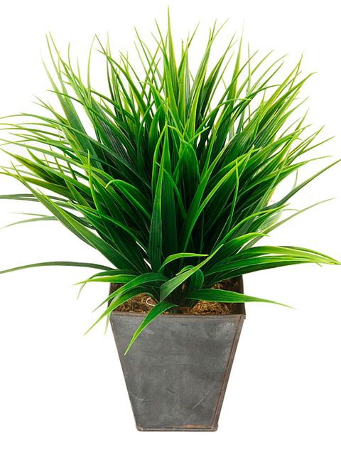 Plant, Houseplant, Flowerpot, Flower, Grass, Terrestrial plant, Yucca, Grass family, Flowering plant, Leaf,