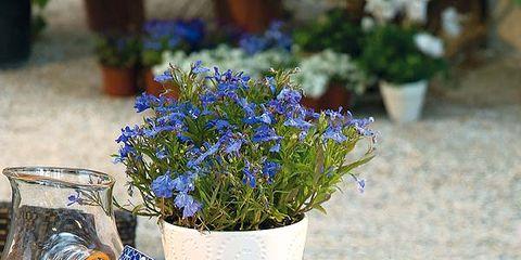 Blue, Serveware, Dishware, Drink, Flowerpot, Tableware, Lavender, Orange, Majorelle blue, Citrus,